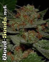 Big Kahuna Cannabis Seeds