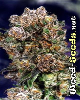 Blueberry Feminized Cannabis Seeds