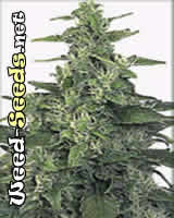 Chronic Cannabis Seeds