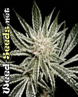 El Nino Feminized Marijuana Seeds