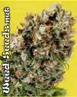 G13 Haze x NYC Diesel Marijuana Seeds