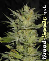 Heavy Duty Fruity Cannabis Seeds