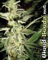 Morning Glory Marijuana Seeds (Barney's Farm)