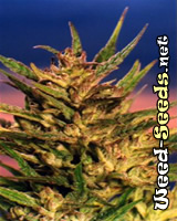 Passion #1 Feminized Marijuana Seeds