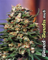 Skunk #11 Feminized Cannabis Seeds