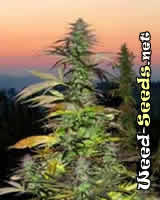 Swiss Miss Cannabis Seeds