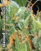 White Lightning Cannabis Seeds