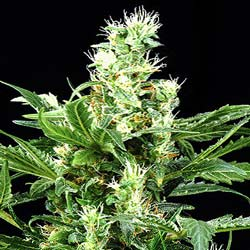Russian Rocket Fuel Feminized Seeds