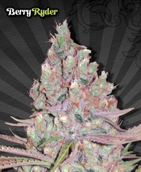 Berry Ryder Feminized