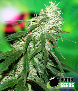 Buzz Bomb by Bomb Seeds