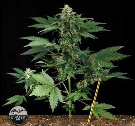 Road Runner Feminized Dinafem