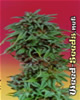 Durban Poison Cannabis Seeds