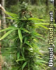 Hawaii x Skunk #1 Marijuana Seeds