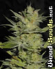 Heavy Duty Fruity Marijuana Seeds