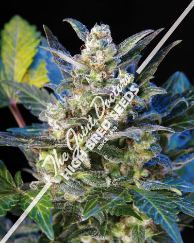 Lowryder 2 Feminized Cannabis Seeds