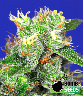 Medi Bomb 2 by Bomb Seeds