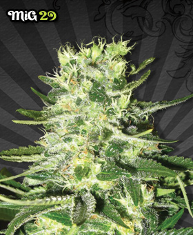 MiG-29 Feminized Seeds by Auto Seeds