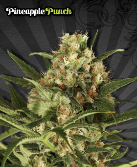 Pinepple Punch Feminized