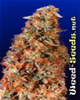 Power Plant Feminized Cannabis Seeds