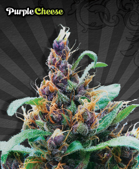 Purple Cheese Feminized