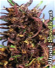 Purple #1 Feminized Marijuana Seeds