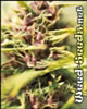 Purple Power Feminized Cannabis Seeds