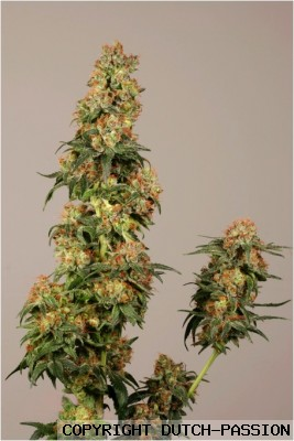 skywalker feminized dutch passion