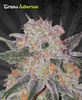 Trans Siberian Feminized Seeds by Auto Seeds
