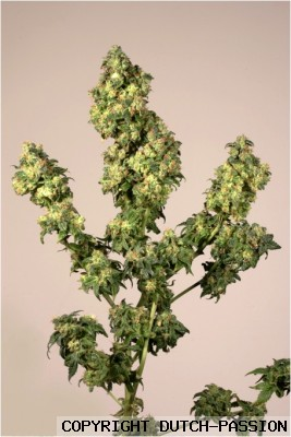 super skunk feminized dutch passion